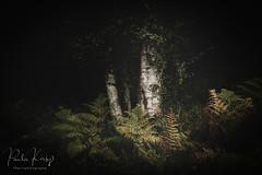 Fern & Bark (PKpics1) Tags: woodland wood bark tree fern ferns croydonhill westsomerset landscape matt dark leaves