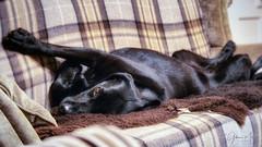 I'm comfy and I'm not moving! (Gilama Mill) Tags: ffp lensbabyvelvet56 ruby sonya6300 dog labrador sofa recline