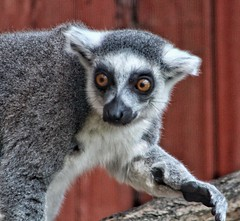 'Hello, give me a wave!' 😊 (LeanneHall3 :-)) Tags: grey white black fur lemur animal waving aviary eastpark hull kingstonuponhull closeup closeupphotography canon 1300d