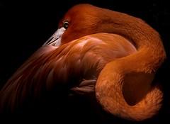 Flamingo (Toledo 22) Tags: nikon orange lowkey tier animal natur nature red bird flamingo vogel