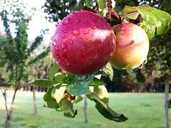 Gotas de lluvia que al caer.. (ninestad) Tags: manzanas apples lluvia rain gotas drops pradera árbol tree galicia aldea rural macro wet hierba green