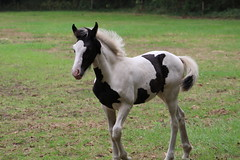 Sweet Little Lou Lou (excellentzebu1050) Tags: farm livestock animal farmer filly animals field summer2018 coth5