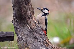 Picchio rosso maggiore _014 (Rolando CRINITI) Tags: picchiorossomaggiore uccelli uccello birds ornitologia cisliano natura