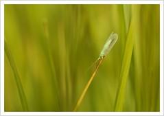 Goldeneye (#explore) (Norbert Kaiser) Tags: insekt fliege gemeineflorfliege florfliege goldauge wiese gras natur nature tier animal chrysoperlacarnea chrysopidae netzflügler