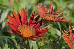 MS Bot Garten 13072018 35 (Dirk Buse) Tags: münster nordrheinwestfalen deutschland deu botanischer garten uni nrw germany de natur nature outdoor pflanze flora blüte mft m43 mu43