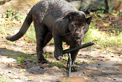 jaguar artis JN6A5441 (j.a.kok) Tags: jaguar cat kat mammal zoogdier dier pantheraonca zwartejaguar blackjaguar animal predator artis