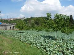 Brassicas growing amongst the fruit trees (3) (karenblakeman) Tags: bridgeofjustinian justinianosköprüsü besköprü serdivan sakarya turkey 2018 july brassicas fruittrees tr beşköprü