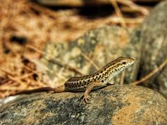 Look at me.. (panoskaralis) Tags: lizards nature macro stone rocky coloful outdoor lesvos mytilene lesvosisland greece greek hellas hellenic greeknature nikoncoolpixb700 nikon nikonb700