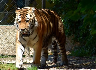Zoo Servion - tigre