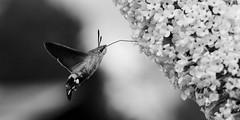 Macroglossum stellatarum (Amanda Hinault - 風流韻事) Tags: macro proxi details ccbysa photobyamandahinault creativecommons pentax pentaxk1ii noiretblanc blackandwhite nb noirblanc blackwhite bw monochrome macroglossumstellatarum morosphinx sphinxcolibri pentaxart darktable