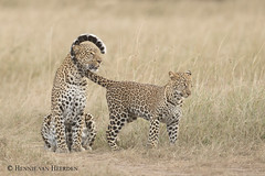 Lifeline (hvhe1) Tags: nature wildlife wild animal leopard pantherapardus cub cat bigcat masaimara kenya luipaard young mother kabossofemale africa hvhe1 hennievanheerden