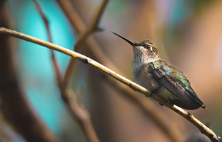 Hummingbird (1 of 1)
