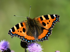 Small Tortoiseshell Watchtree Nature Reserve N000026 D210bob DSC_3913 (D210bob) Tags: smalltortoiseshell watchtreenaturereserve n000026 d210bob dsc3913 nikond7200 birdphotography birdphotos naturephotography naturephotos nikon wildlifephotography cumbria nikon200500f56