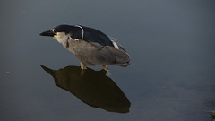 Perfect reflection (lbencini) Tags: bird lake reflection huacachina perù desert sun sunny canon nofilter nature wild