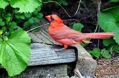 DSC_0398 (RachidH) Tags: birds oiseaux snow cardinal redbird northerncardinal cardinaliscardinalis cardinalrouge sparta nj rachidh nature