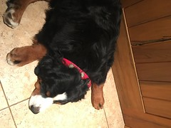 Oso (Alpen Schatz - Mary Dawn DeBriae) Tags: happy customer alpenschatz bernesemountaindog dog swissdogcolar hunterswisscrosscollar doggles stein