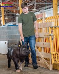 Pig Confidence (Scottwdw) Tags: 2018 barn building fairgrounds goat llamas morning newyork newyorkstatefair people pig summer swine syracuse unitedstatesofamerica 840 nikond750 nikon28300mmf3556gedvr walk walking animal mammal livestock