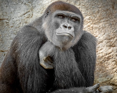 We Didn't Forget Your Birthday (helenehoffman) Tags: silverback conservationstatuscriticallyendangered primate sandiegozoosafaripark gorilla animal mammal ape nearly10yearoldwesternlowlandgorillagorillagorillagorillanamedfrankborn4september2008atsandiegozootoazizimomandpauldonndadnowlivingwithtroopatsandiegozoosafariparkconservationstatuscriticallyendangered frank gorillagorillagorilla westernlowland africa