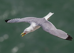 DSC4009  Kittiwake.. (jefflack Wildlife&Nature) Tags: kittiwake kittiwakes gulls birds avian animal animals wildlife wildbirds wildlifephotography jefflackphotography seabirds shorebirds seashore coastalbirds coastline coast coastal gull bempton yorkshire countryside nature