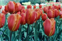 Pink and Yellow Tulips - Keukenhof - 1978 (BlueVoter - thanks for 2.2M views) Tags: flowers keukenhof lisse netherlands tulip tulp fleur