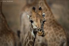 Young Giraffe (leendert3) Tags: leonmolenaar southafrica krugernationalpark wildlife nature mammals giraffe naturethroughthelens ngc npc coth5