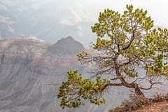 Piñon Bright (Kirk Lougheed) Tags: arizona coloradoplateau grandcanyon grandcanyonnationalpark southrim usa unitedstates yakipoint canyon landscape nationalpark outdoor park pine pinyon piñon rim summer sunrise tree