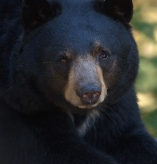 Looking At You (Scott 97006) Tags: bear black eyes watching face nose cute zoo wild