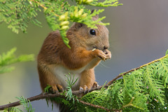 Sciurus vulgaris (Red Squirrel) (talaakso) Tags: d7200 eichhörnchen ekorn ekorre eläin finland finnishanimal finnishwildlife mammalanimal nikond7200 nisäkäs nordicanimal nordicwildlife orava redsquirrel sciurusvulgaris squirrel tamron150600 terolaakso wildlife animaleating cute cuteanimal djur finnishnature squirreleating söpoeläin söpö talaakso