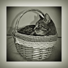 Zazu (Uli He - Fotofee) Tags: ulrike ulrikehe uli ulihe ulrikehergert hergert nikon nikond90 fotofee emil sheltie fleur shetlandsheepdog küche kater katze zazu korb körbchen freunde