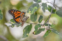 DSC_0049 (greenjay2) Tags: butterflies insects monarchdanausplexippus