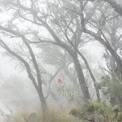 Flowering Waratah (square) (Old-Man-George) Tags: 2017 australia bluemountains evanslookout georgewheelhouse nsw newsouthwales fog gumtree mist spring wwwgeorgewheelhousecom a175313 waratah flower red