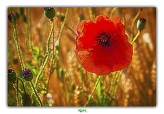 LAURA (régisa) Tags: proxy fleur rouge batforlashes coquelicot poppy floringzelle tardinghen