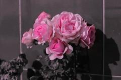 IMG_6683 Rosas (Fernando Sa Rapita) Tags: baleares canon canoneos eos6d mallorca sarapita flor flower pink rosa rose