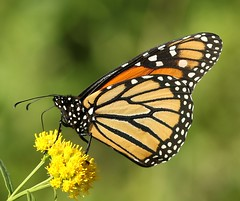 Monarch on Goldenrod (Eric C. Reuter) Tags: nature wildlife ny catskills lake cabin hancock september 2018 090418 peaseddyroad golfcourseroad somersetlake insects flowers plants dragonflies odes odonata