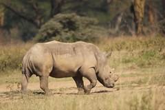 Low angle (Nagarjun) Tags: lakenakurunationalpark kenya eastafrica wildlife bigfive whiterhino whiterhinoceros southernwhiterhinoceros ceratotheriumsimumsimum safari gamedrive herbivore biggame
