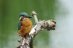 Shoulders Back! (Hugobian) Tags: kingfisher bird birds nature wildlife fauna animal lackford lakes pentax k1 swt