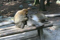 IMG_8711 (harleyhurricane1) Tags: monkeys handfeedmonkeys feedmonkeyspopcorn affenbergsalem barbarymacaques storks deer badenwurttemberg germany