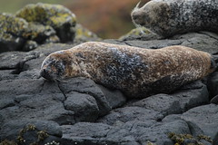 Sleepy Seals - IMG_7438 (406highlander) Tags: commonseal seal phocavitulina dunvegan skye scotland lochdunvegan marine mammal animal sigma120400mmf4556apodgos harbourseal harborseal basking rock canoneos1300d