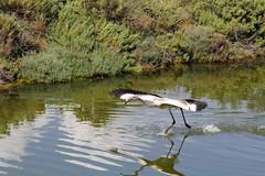Phoenicopterus roseus (CarloAlessioCozzolino) Tags: fenicottero flamingo phoenicopterusroseus animali animals quartusantelena sardegna sardinia saline saltworks uccello bird riflesso reflection