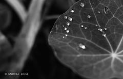 still lifes... (andrealinss) Tags: schwarzweiss bw blackandwhite andrealinss 35mm makro detail tropfen regentropfen rain raindrop drop stilllifes garden garten jardin