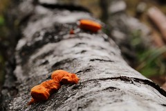 Orange time (RW-V) Tags: canoneos70d canonefs35mmf28macroisstm slimemold myxomycetes fungus nature natur sooc 100faves 150faves 175faves 200faves 225faves 250faves 2500views 275faves 300faves 5000views 6000views 325faves