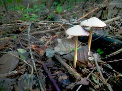 Into the Woods..... (Menyhert) Tags: mushroom toadstool poison fungi fungus forest fall autumn park
