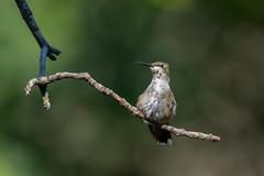 Hummingbird-44220.jpg (Mully410 * Images) Tags: birdwatching birding beak backyard molting birds hummingbird bird birder rubythroatedhummingbird