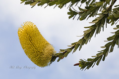 Banksia flower (Malcom Lang) Tags: banksia flower serrata stem bush leaves branch sky cloud oldmanbanksia native australian australia aussie green yellow