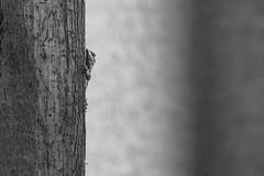 Little Spy (Tednoir) Tags: fuji blackwhite blackandwhite bnw bw mono monochrom fujifilm xpro2 nature reptile animals wood eyes dof nikkor 105mm 25