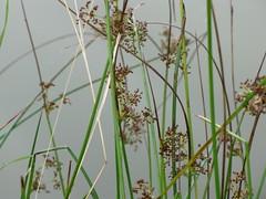 Flatter-Binse - Juncus effusus (elisabeth.mcghee) Tags: juncus effusus flatterbinse teich pond pflanze plant
