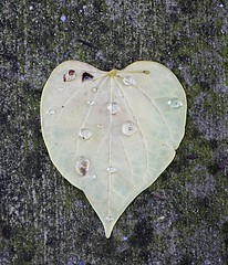 Heartful Drops (pjpink) Tags: urban scottsaddition rva richmond virginia august 2018 summer pjpink 2catswithcameras heart leaf waterdrops