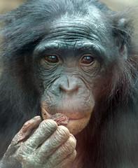 Bonobo Berlin Zoo JN6A6586 (j.a.kok) Tags: bonobo animal africa afrika aap ape mammal monkey mensaap primate primaat zoogdier dier berlijn panpaniscus berlijnzoo berlinzoo