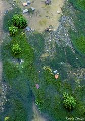 Lanceleaf Water Plantain (tinlight7) Tags: plants aquatic freshwater tarsus turkey mediterranean
