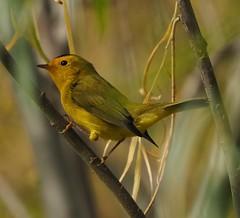 Wilson's Warber (ebeckes) Tags: wilsonswarbler warbler bird panasonicleica100400 olympusemimkii